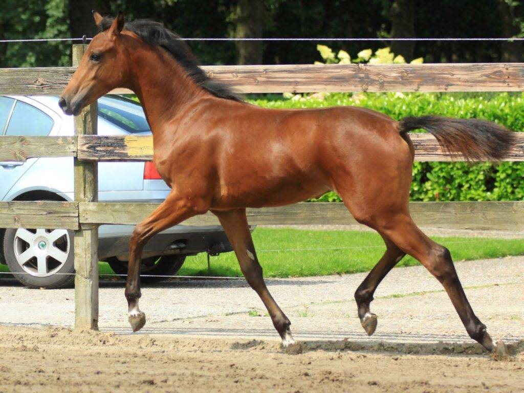 Foals and Young Horses for Sale by Glock Toto Totilas