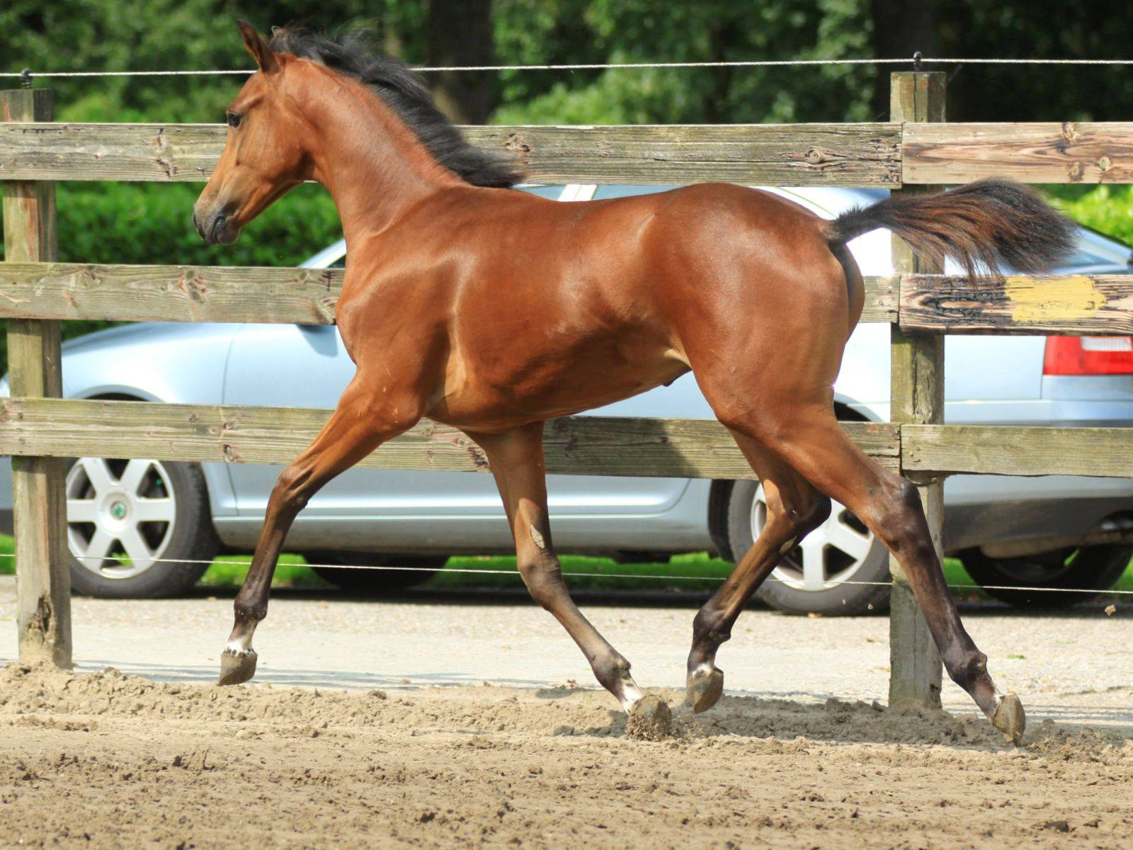 Foal for Sale Glock Toto Totilas