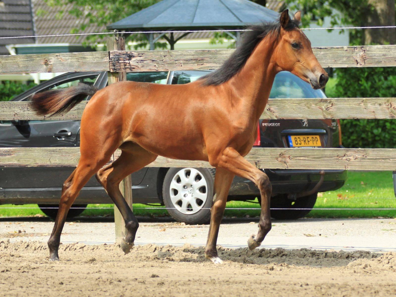 Warmblood Dressage Horse for Sale Glock Toto Totilas