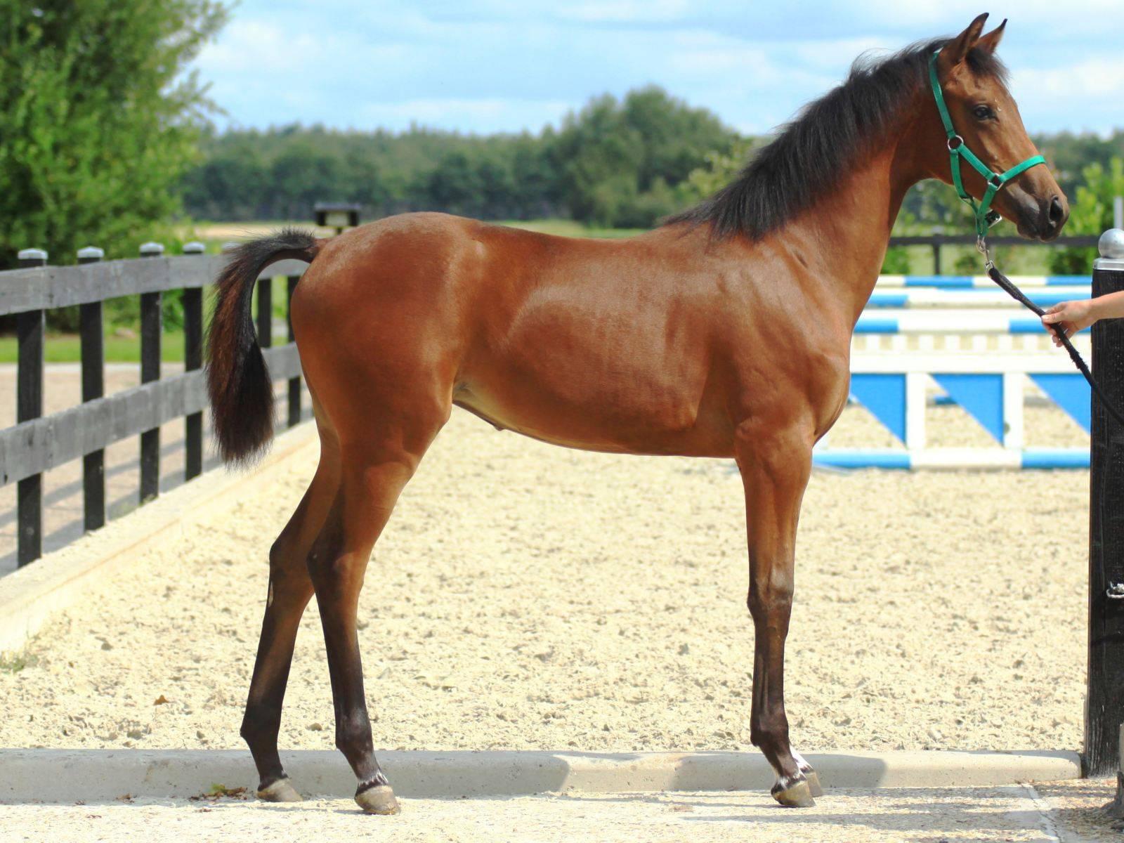 Dressage Horses for Sale Glock Toto Totilas