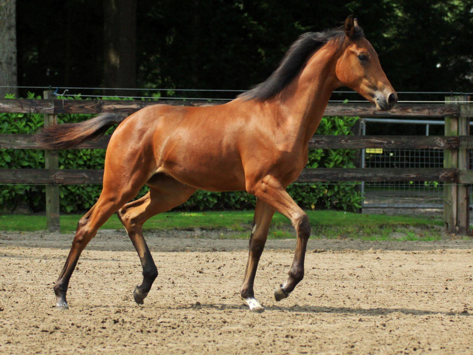 Dressage filly foal for Sale Glock Toto Totilas
