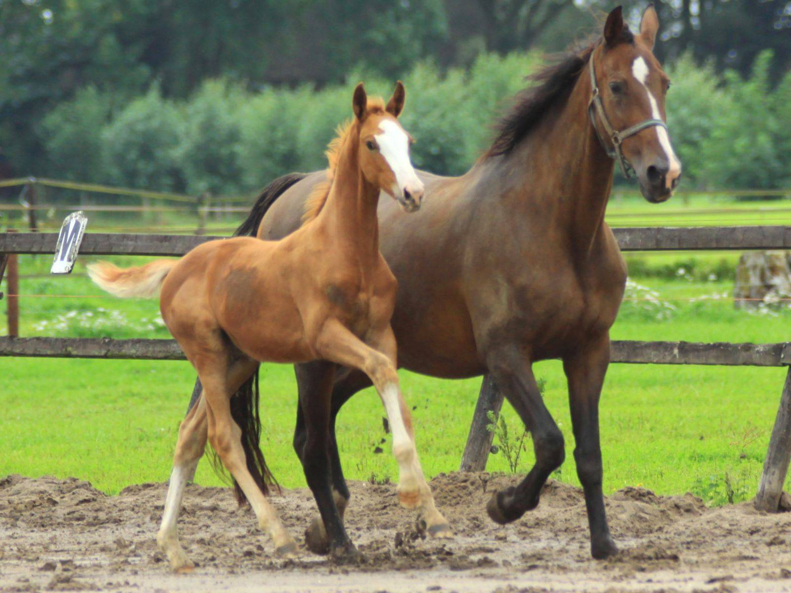 Dressage Colt Foal for Sale Krack C