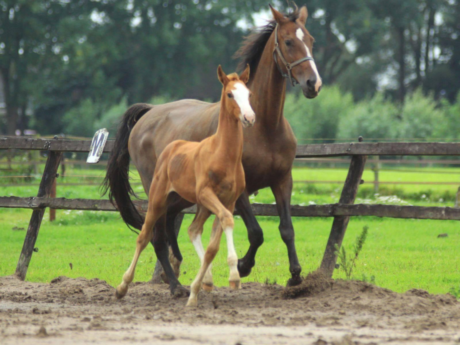 Foal for Sale Krack C