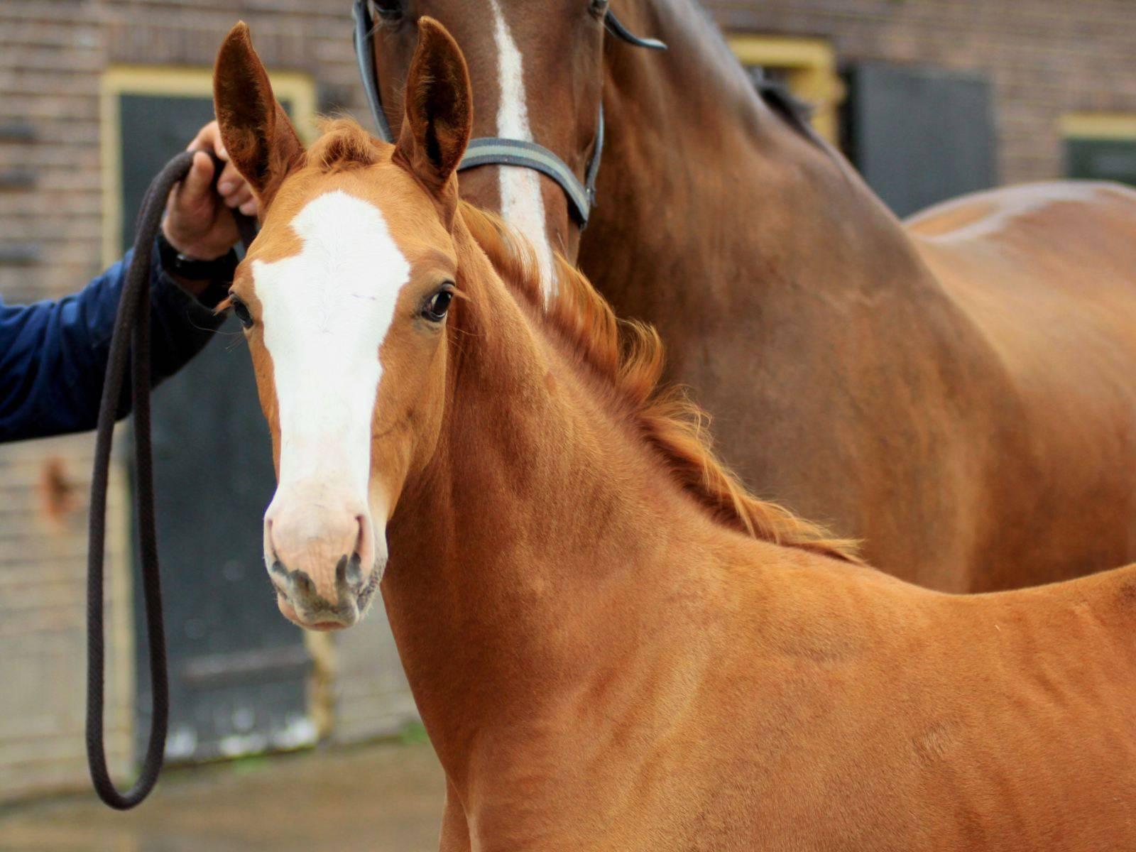 Dressage Foals for Sale Krack C