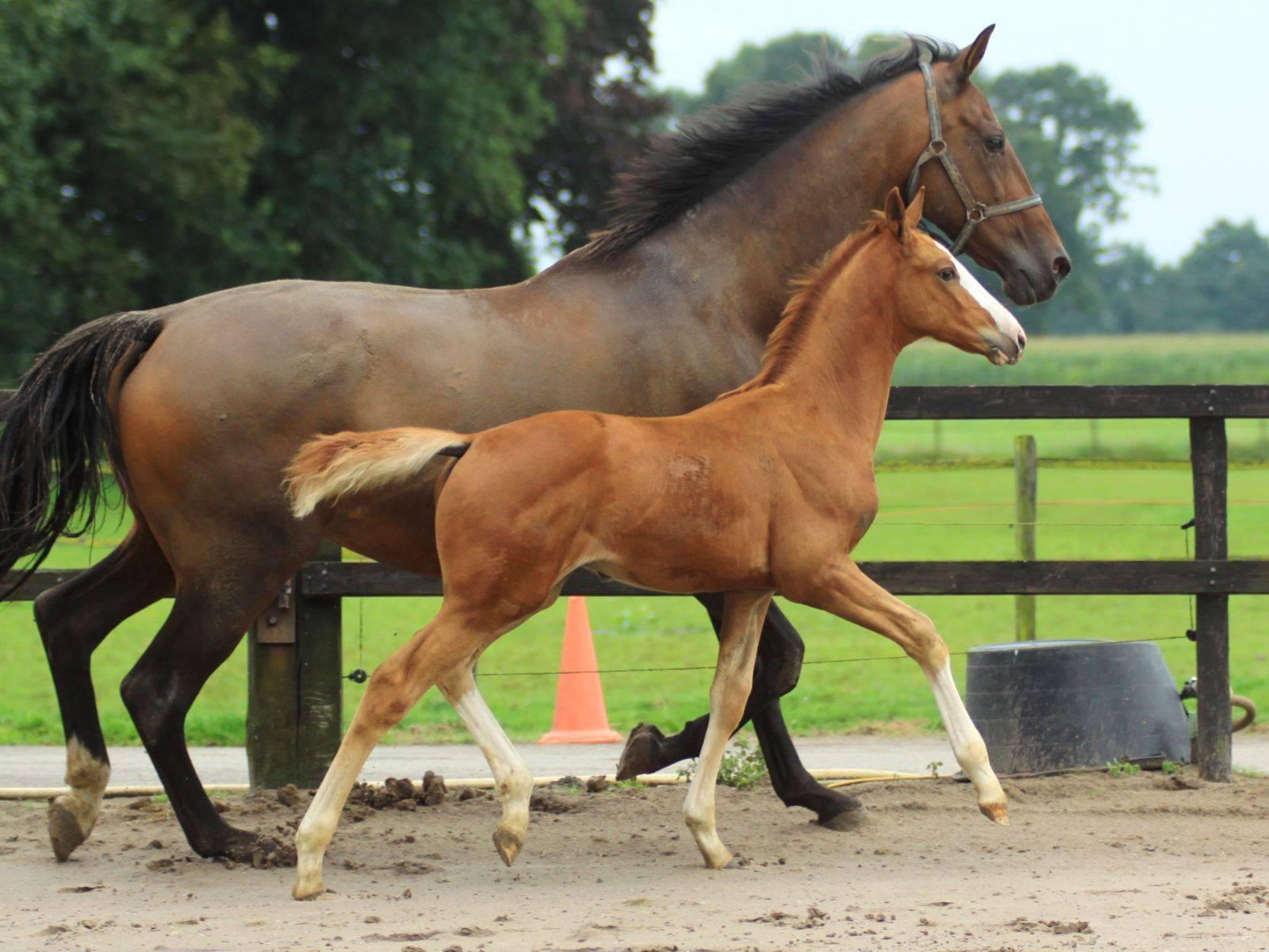 Colt Foal for Sale Krack C