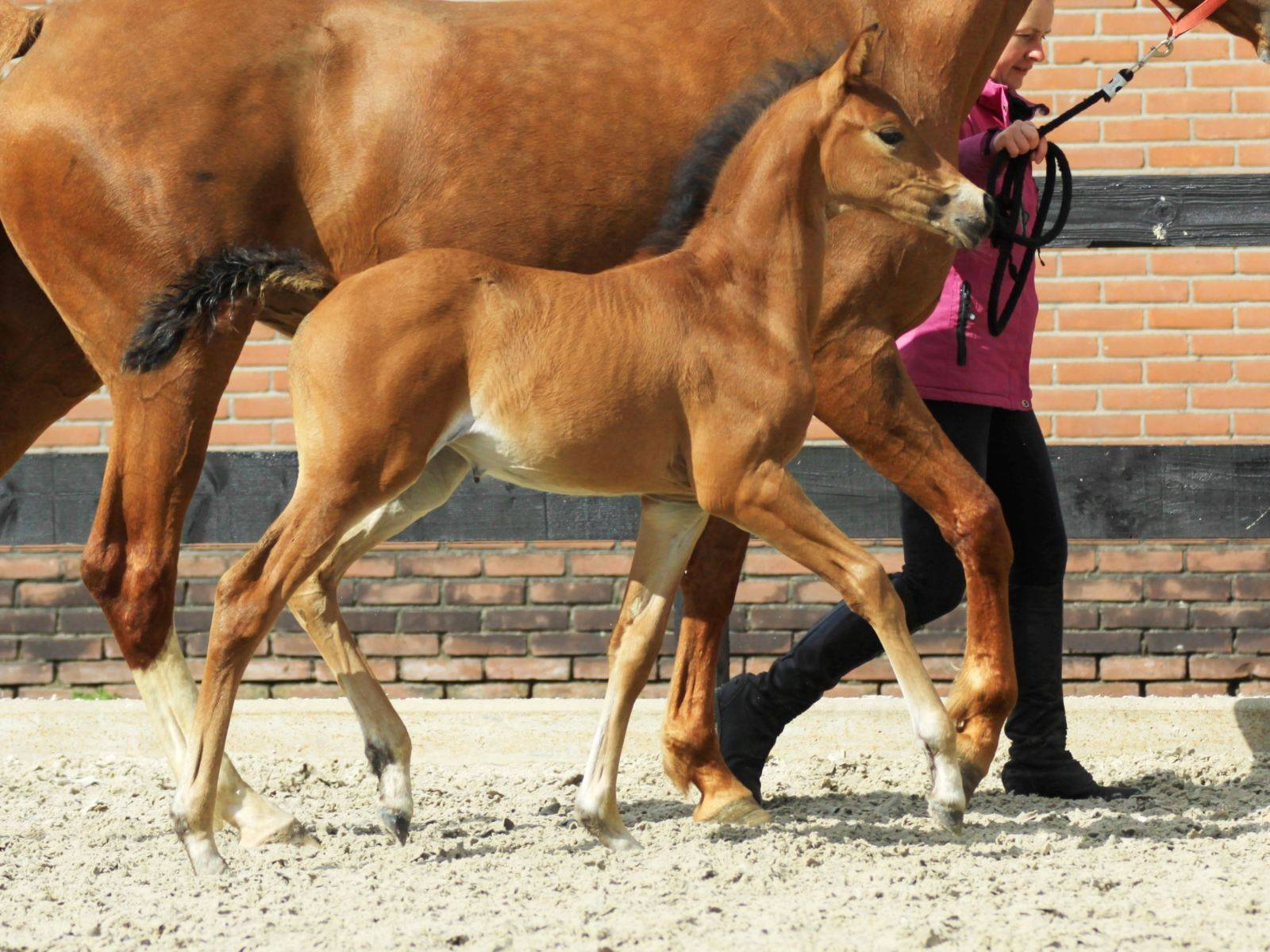 Filly Foal for Sale New York