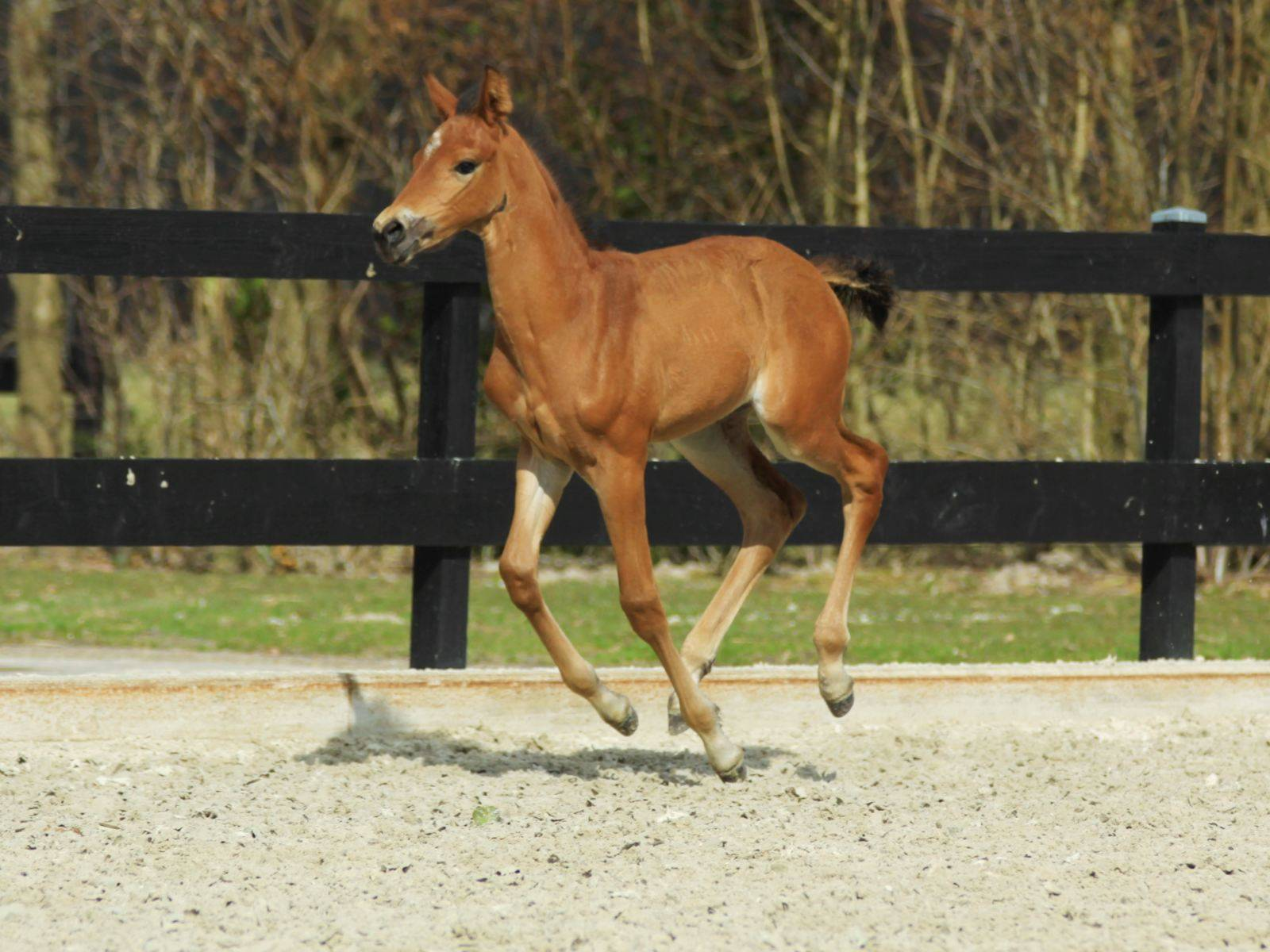 Young Mare for Sale New York