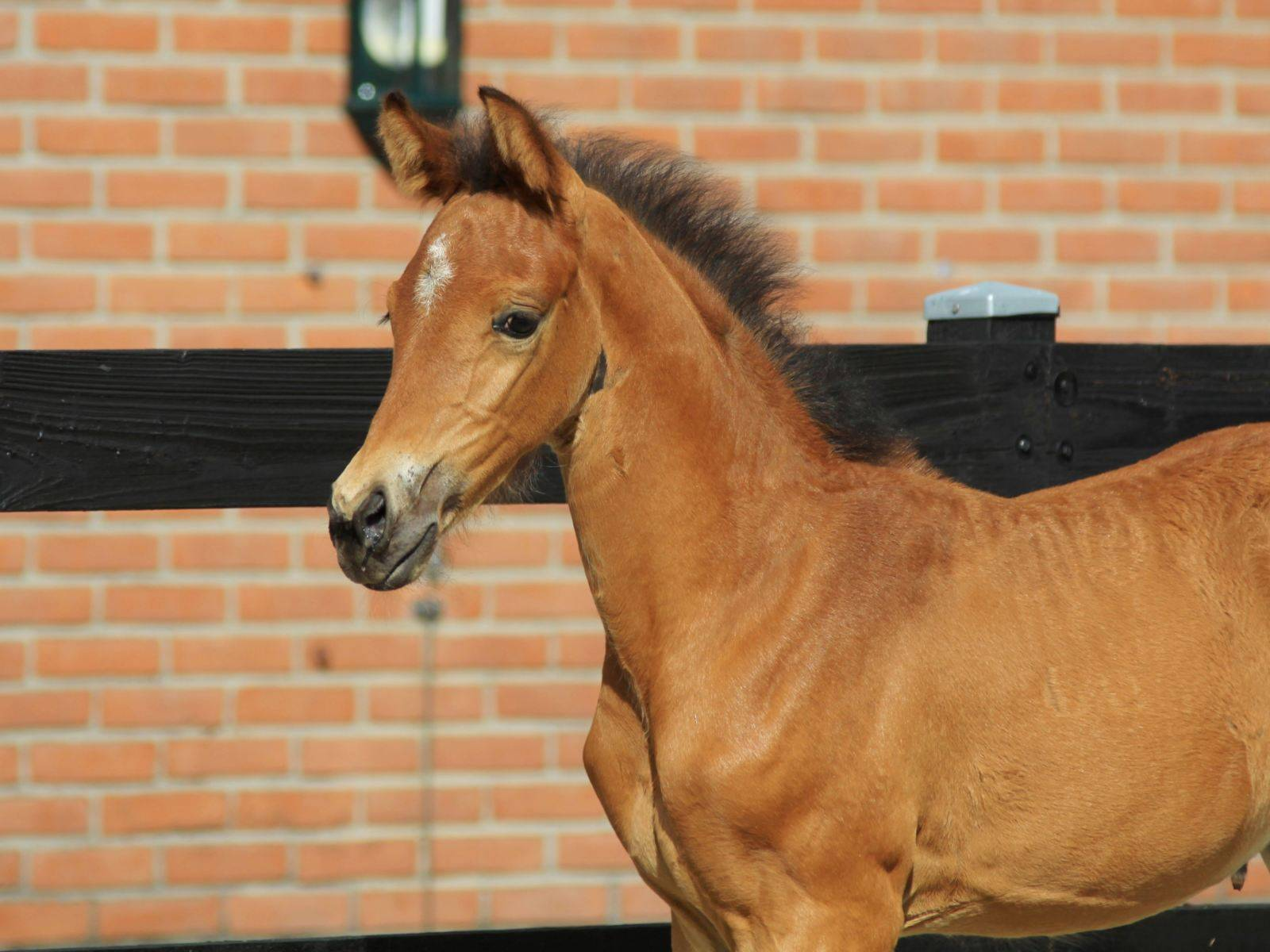 Young Foal for Sale New York