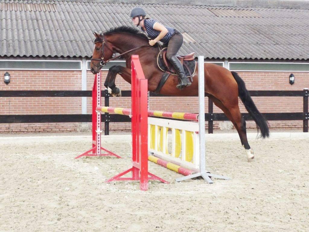 Hunter Jumper Horses for Sale Florida