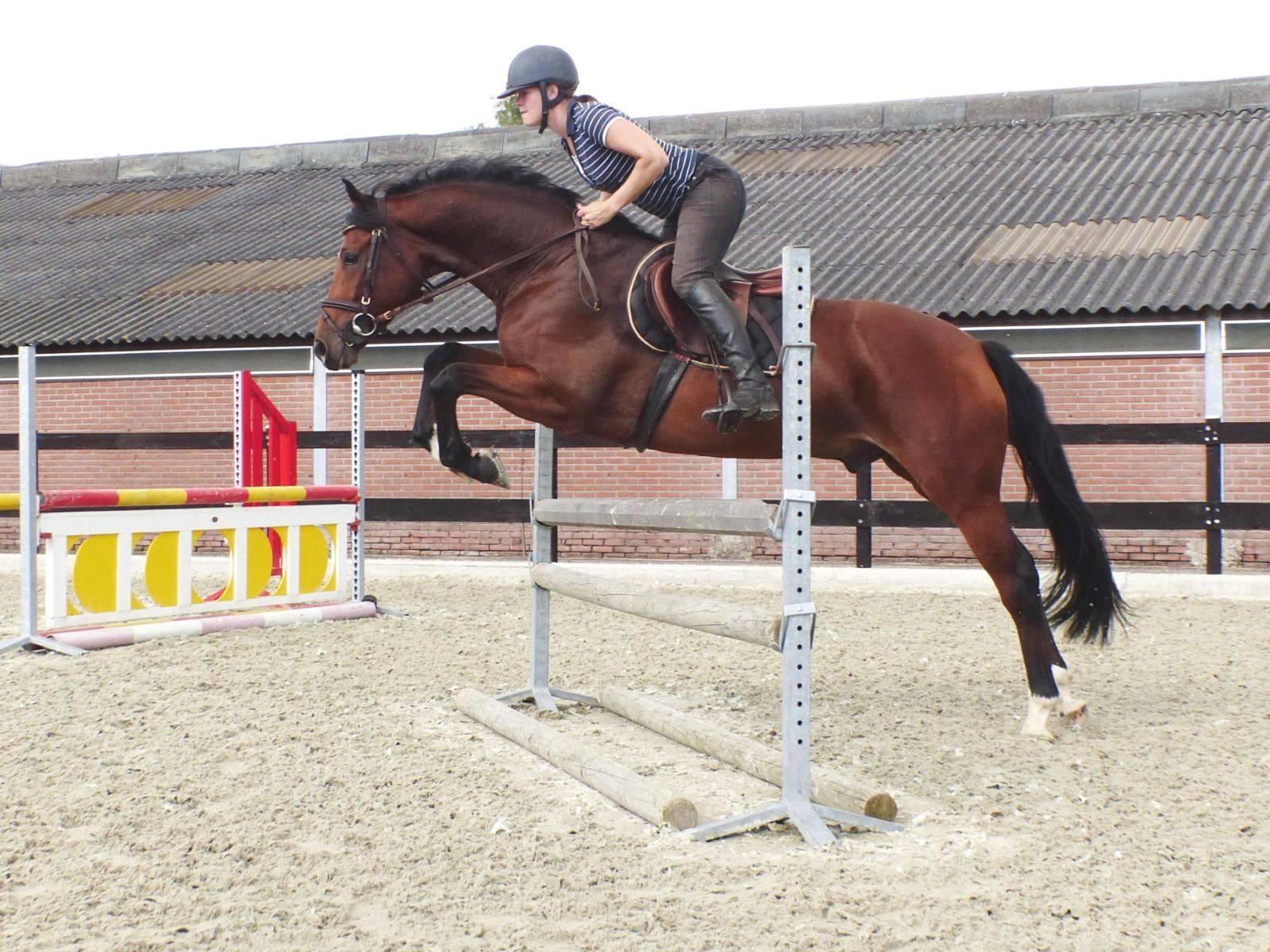 Hunter Jumper Horse for Sale Florida