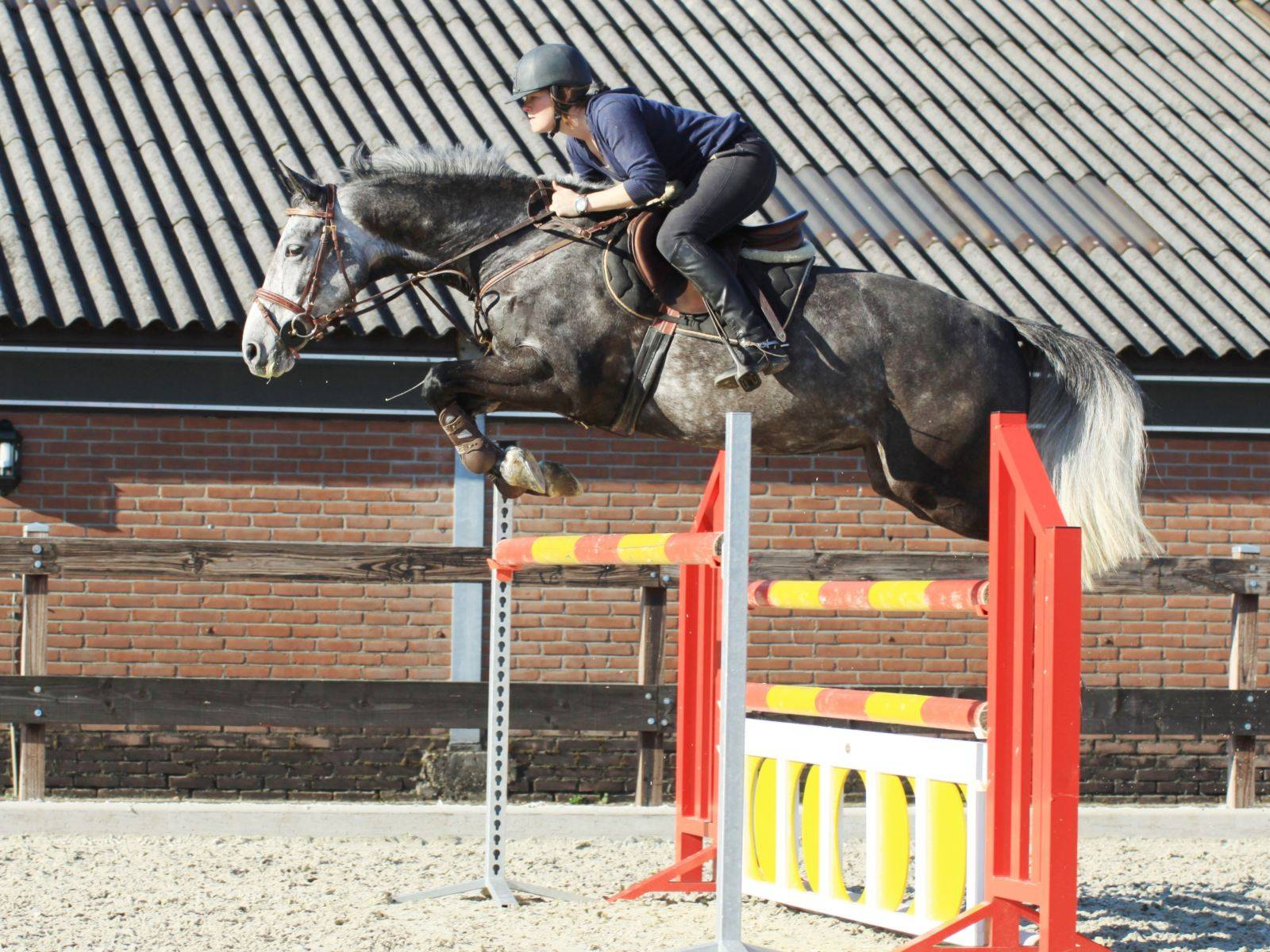 Dutch Jumping Horse for Sale in Holland