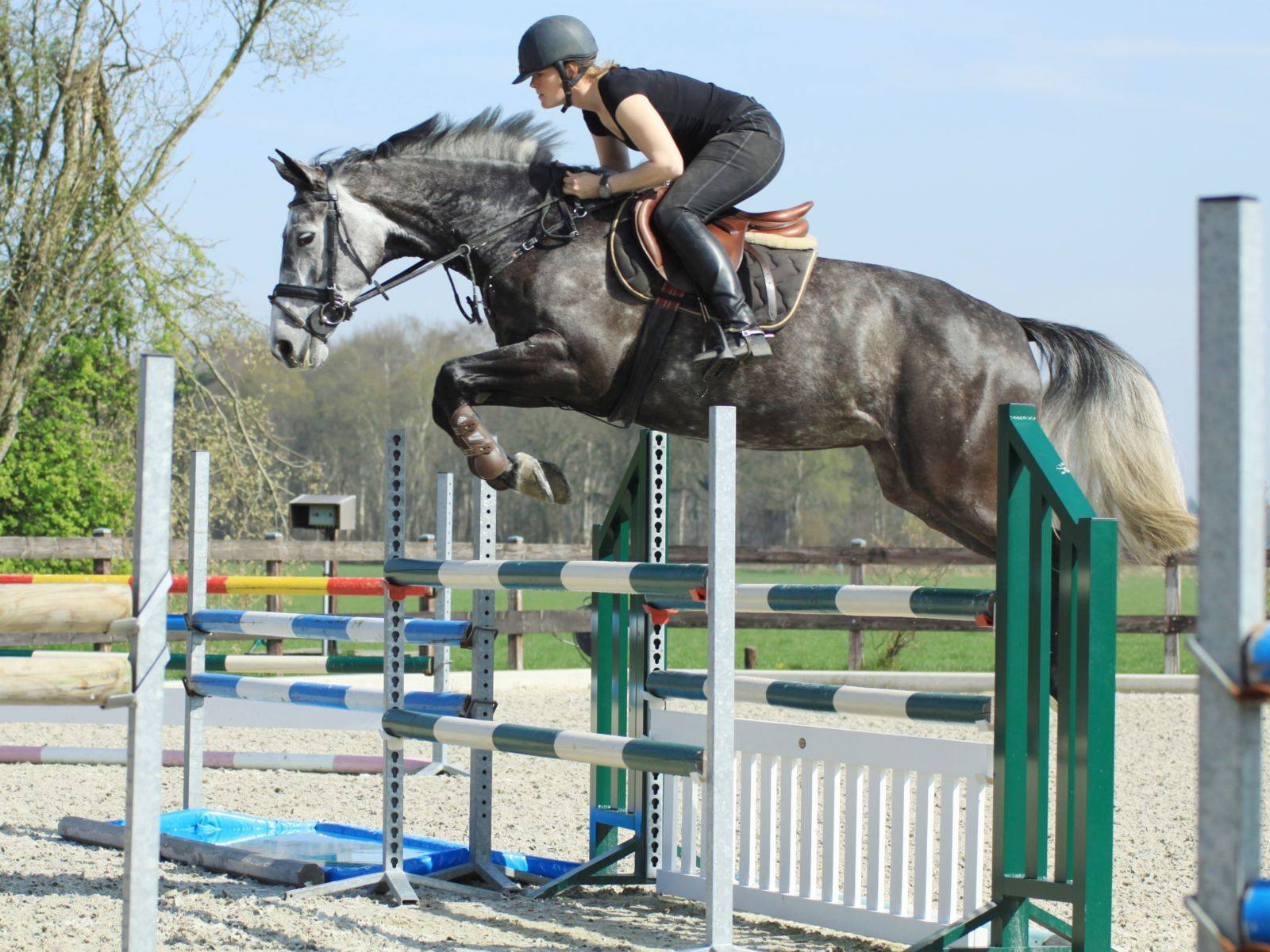 Dutch Jumping Horses for Sale in Holland