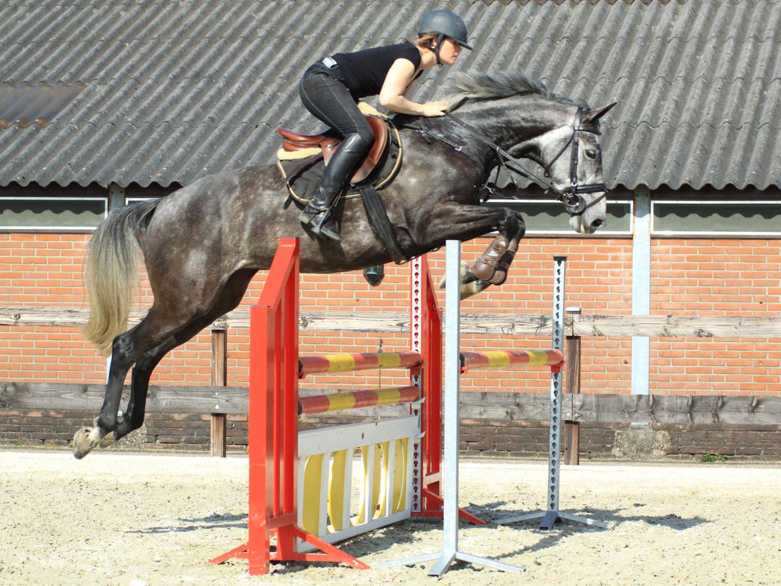 Dutch Jumping Mare in Holland
