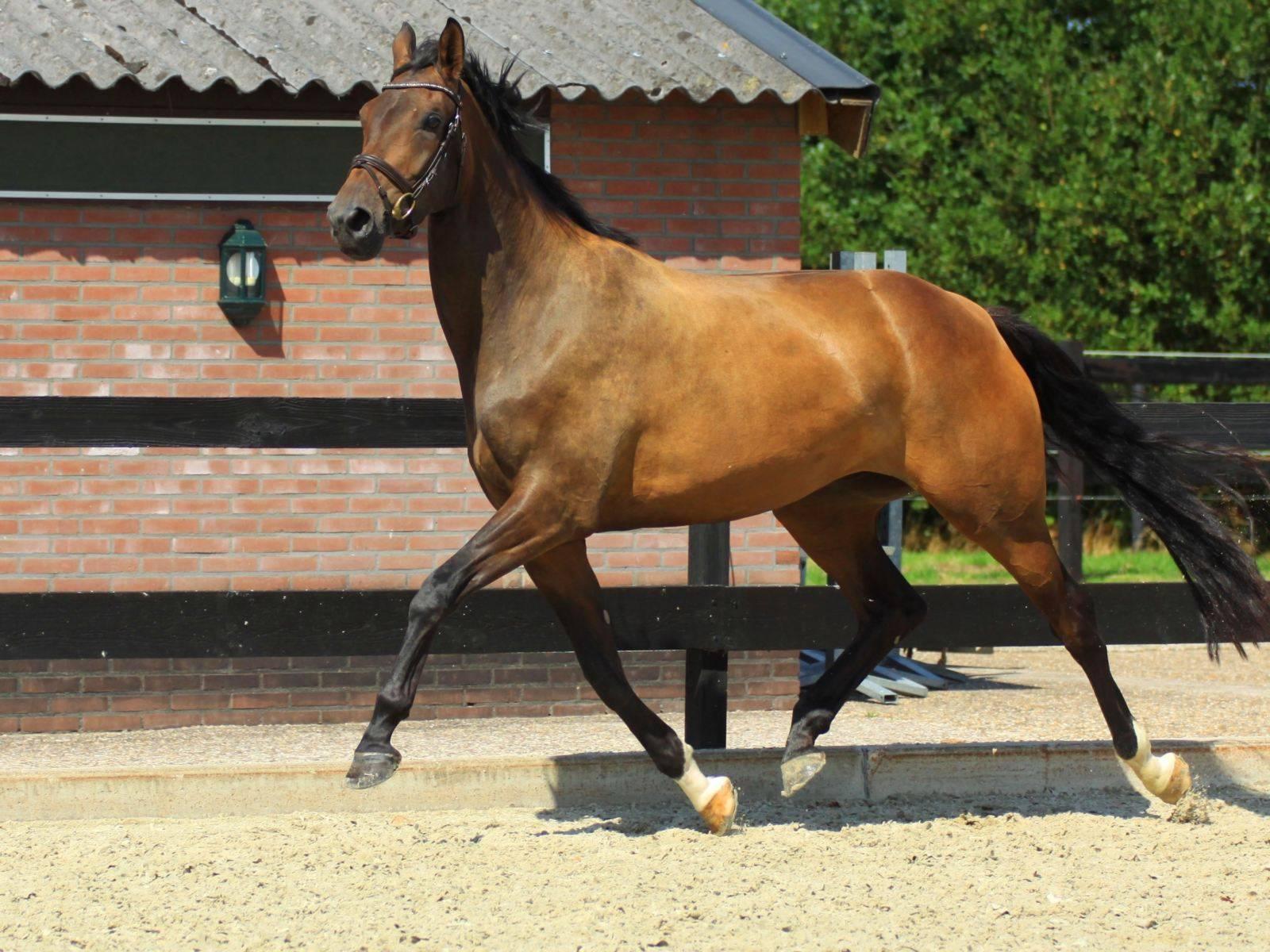 Dressage Warmblood Horses for Sale USA