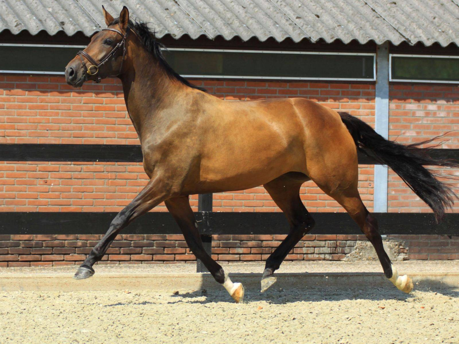 Warmblood Dressage Horses for Sale USA