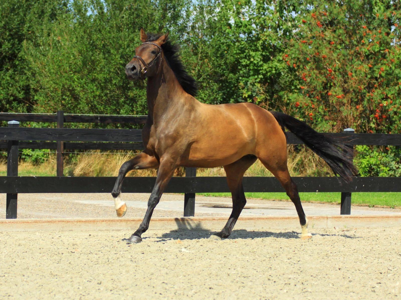 Warmblood Dressage Horse for Sale USA