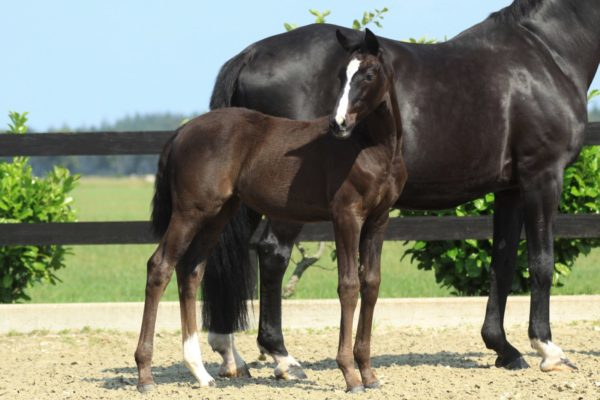 Oniki filly foal by dressage stallion Just Wimphof