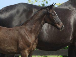 Oniki filly foal by dressage stallion Just Wimphof