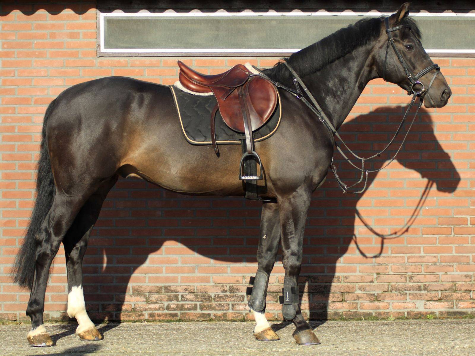 Horses for Sale Brazil