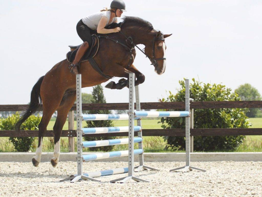 Show Jumping Horses for Sale Japan