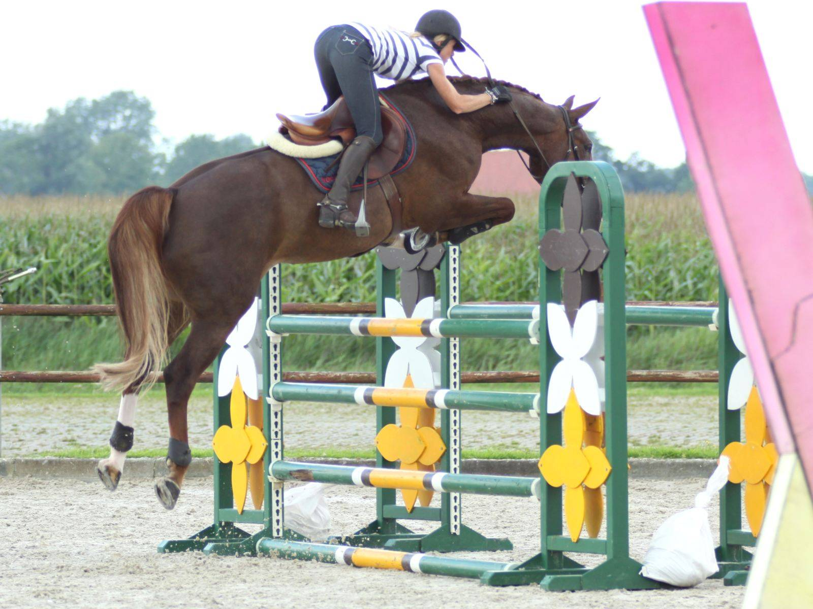 Warmblood Jumping Mare for Sale Kuwait