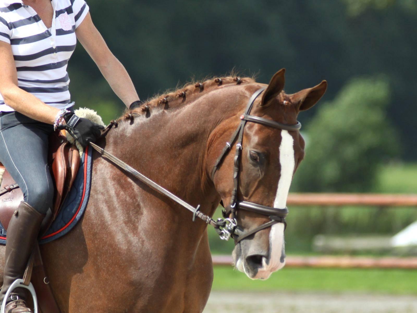 Warmblood Horse for Sale Kuwait