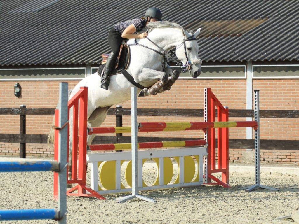 Jumping Horses for Sale UAE Dubai Qatar