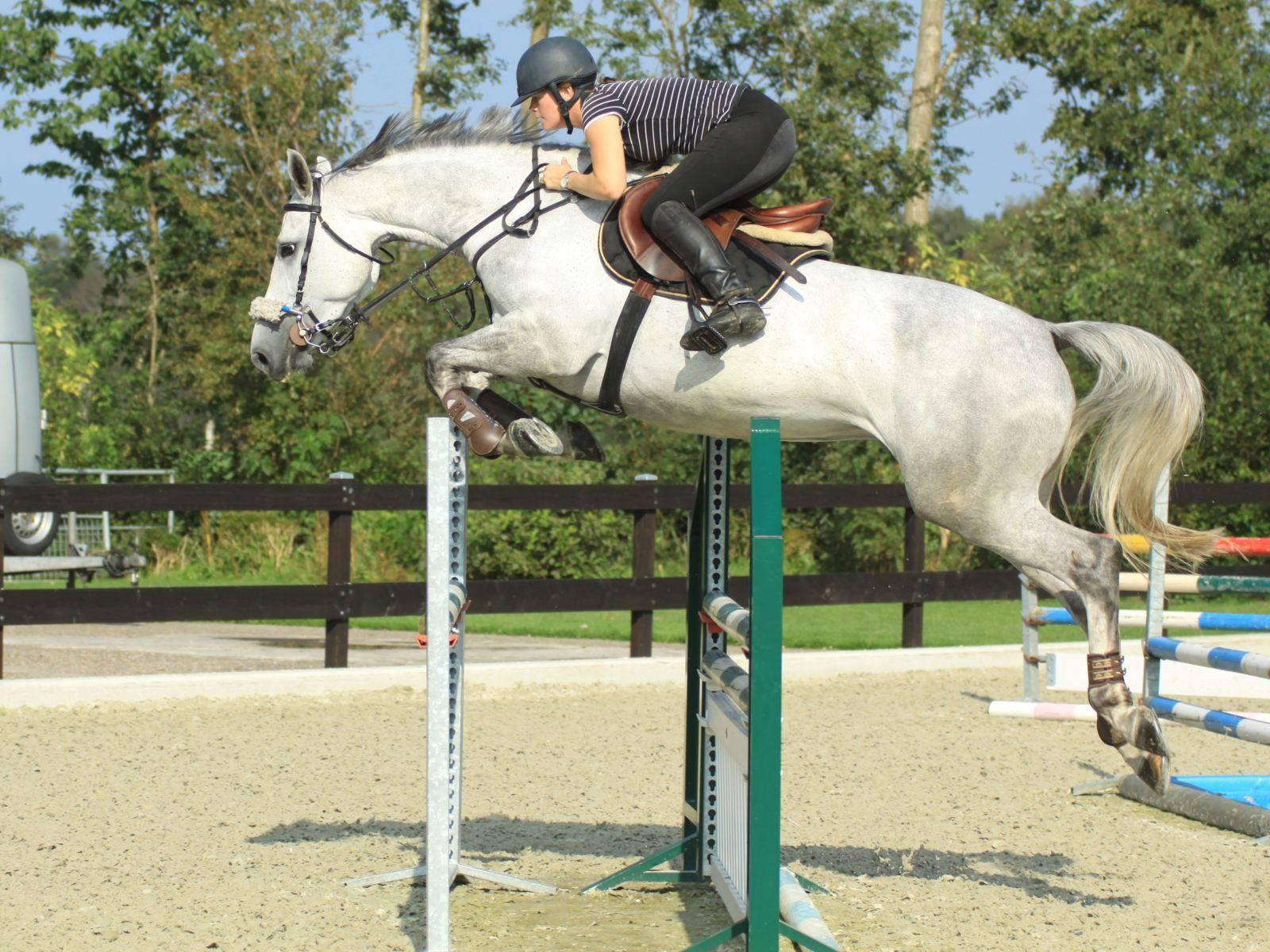 Jumping Horses for Sale UAE Qatar