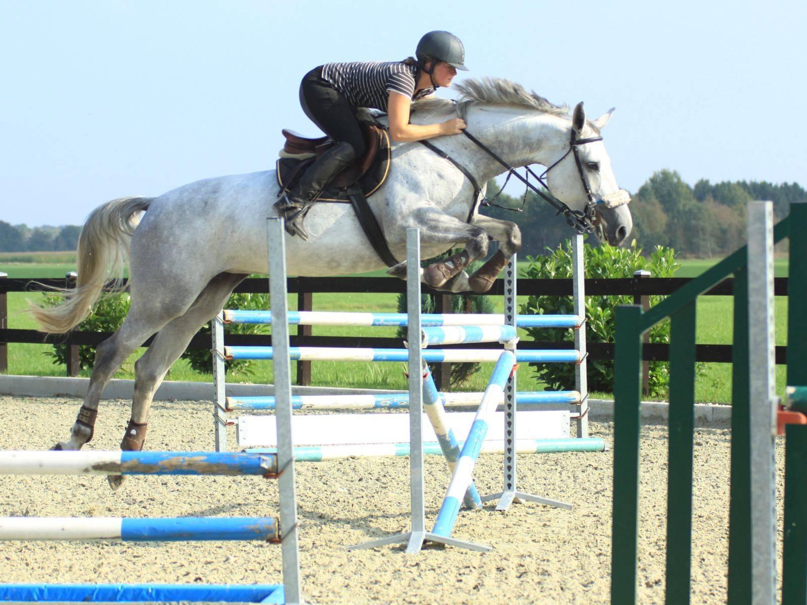 Jumping Horses for Sale Dubai