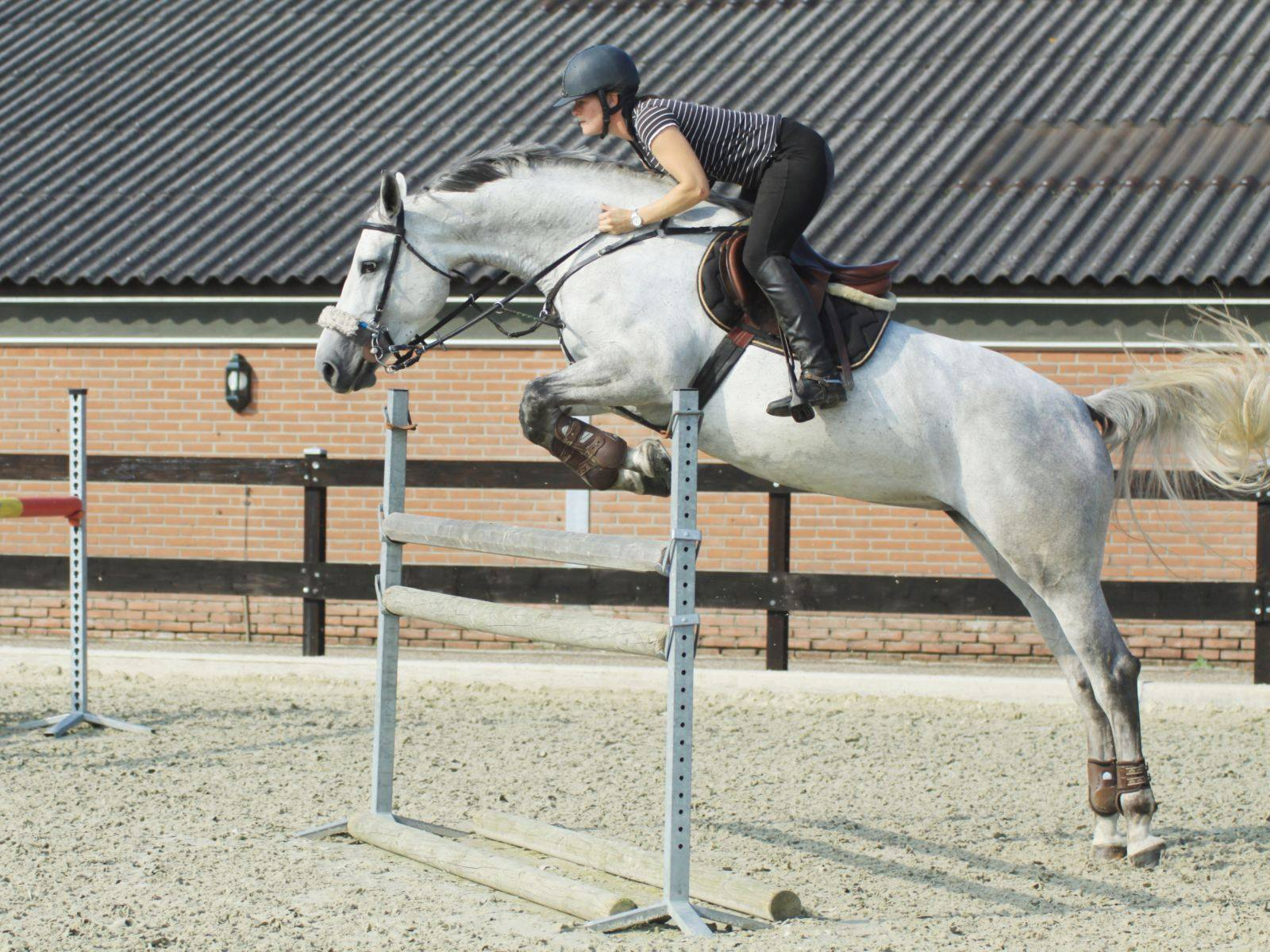 Jumping Horses for Sale Qatar