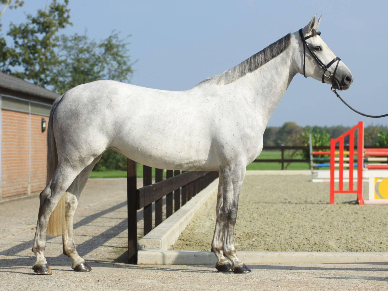 Jumping Horse for Sale UAE Dubai Qatar
