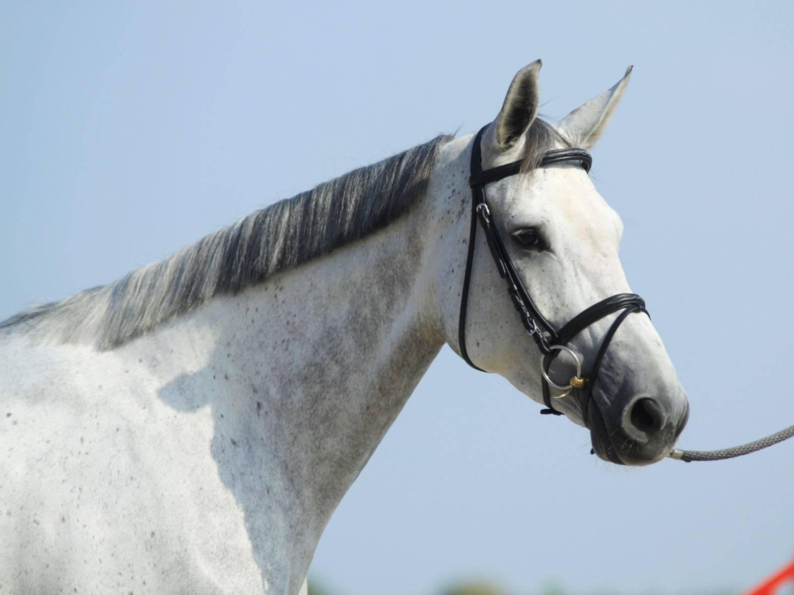 Horses in UAE Dubai Qatar