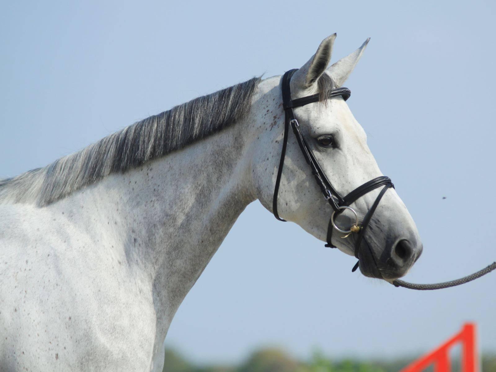 Horse for Sale UAE Dubai Qatar