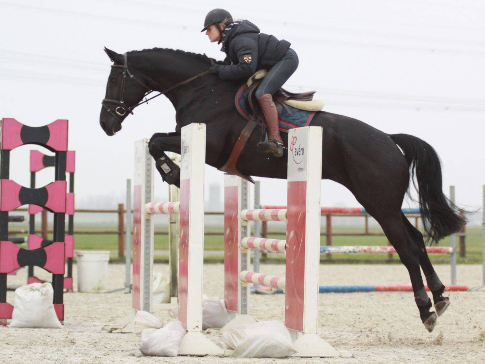 Dutch Jumping Mare for Sale USA