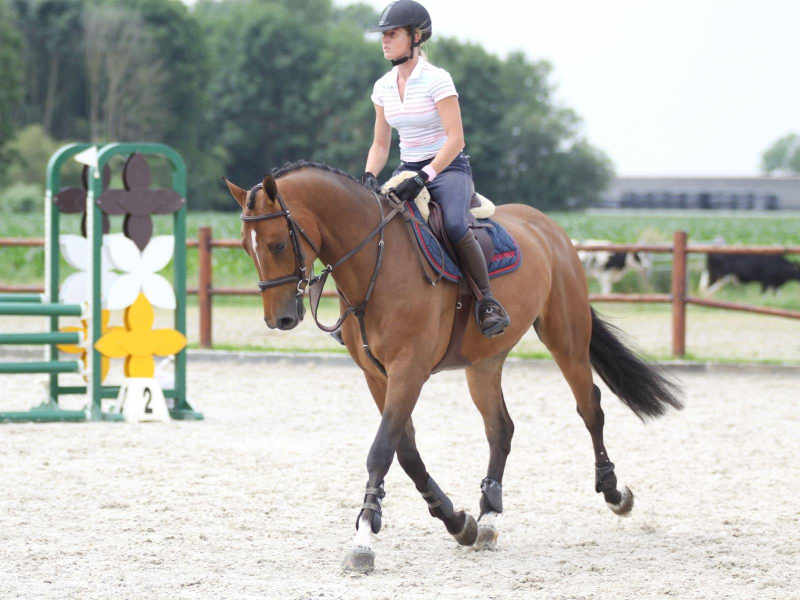 Jumping Gelding for Sale South Africa