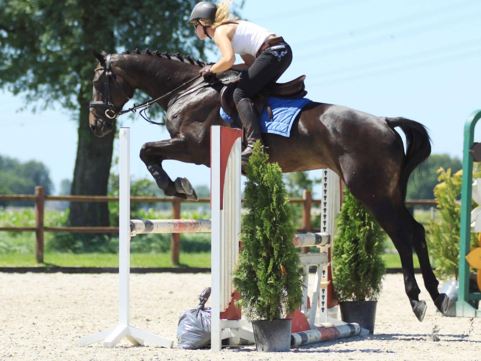 Show Jumping Horses for Sale Jeddah Riyadh