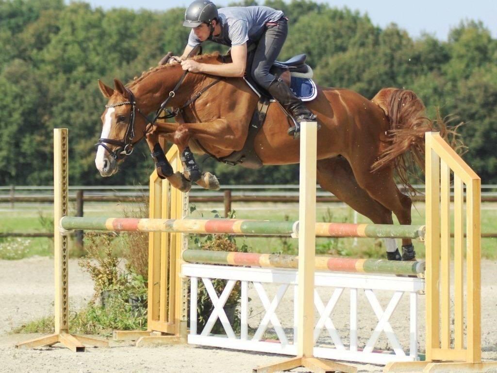 Dutch Horse in Holland