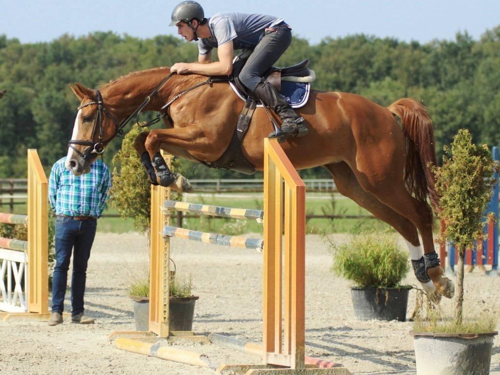 Hunter Jumper Horses for sale in Holland