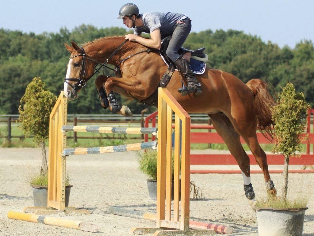 Hunter Jumper Horse for sale in Holland