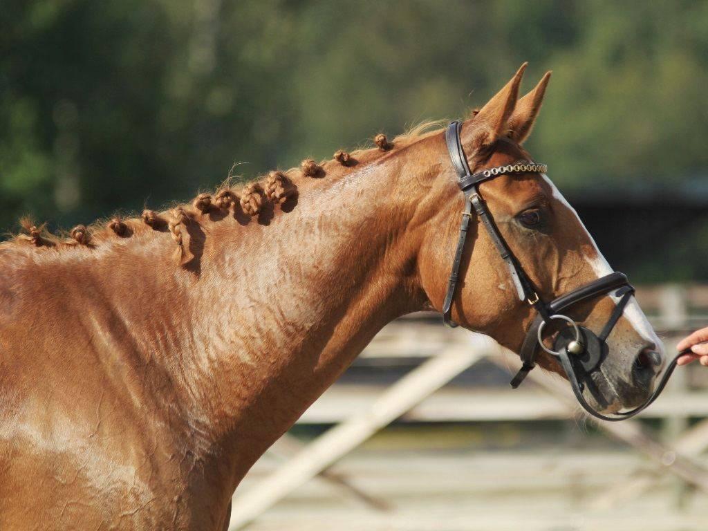Dutch Hunter Jumper Horses for sale