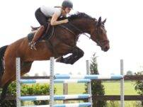 Warmblood Jumping Horse for Sale