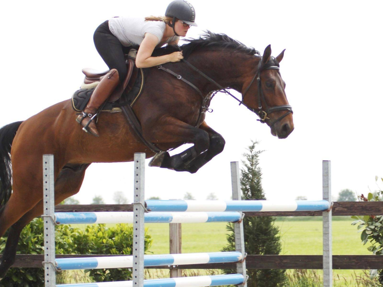 Show Jumping Warmblood Horse for Sale