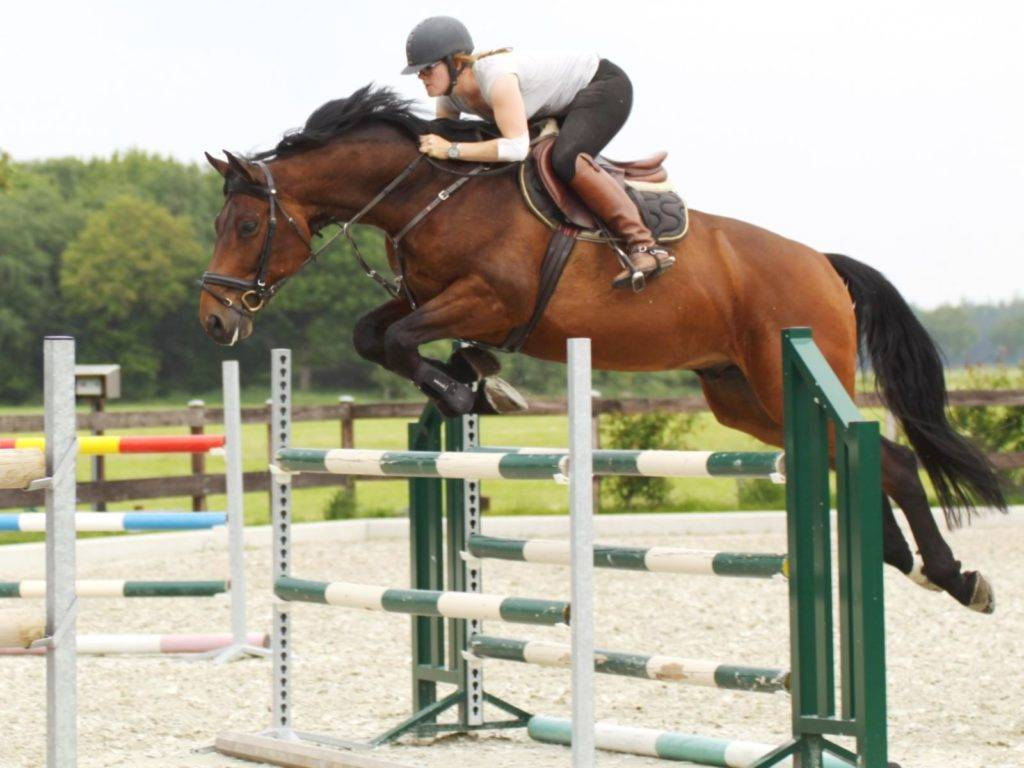 Show Jumping Warmblood Horses for Sale