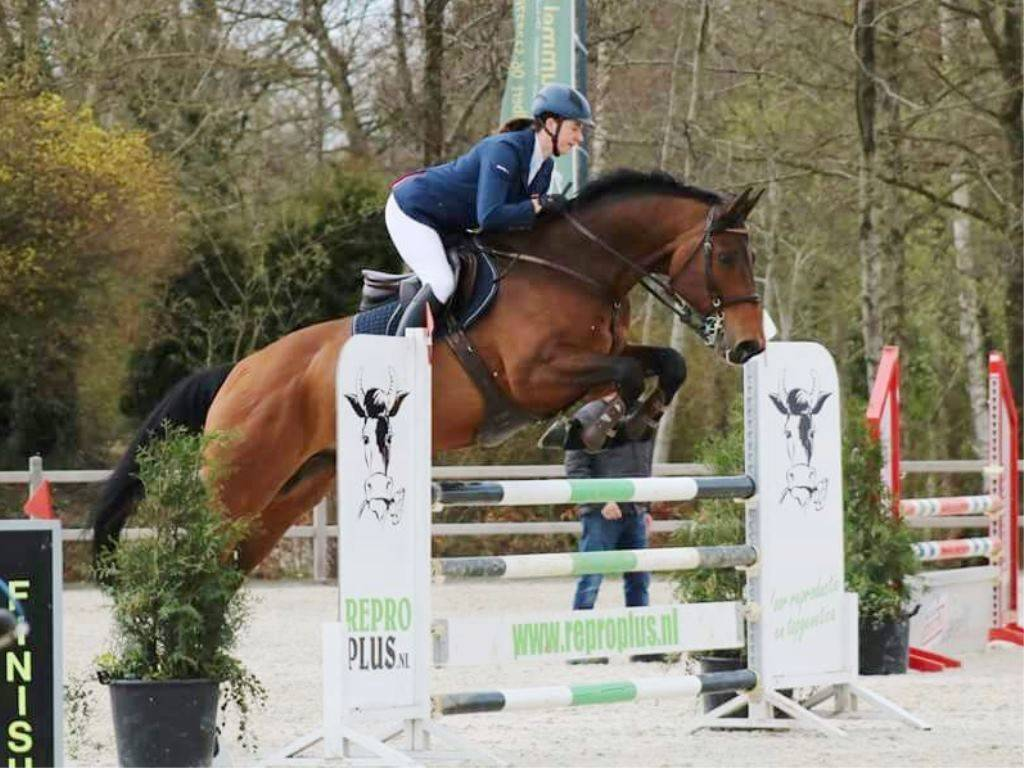 Show Jumping Warmblood Gelding for Sale