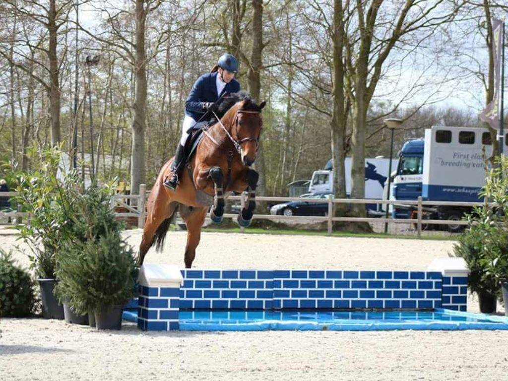 Show Jumping Horse for Sale