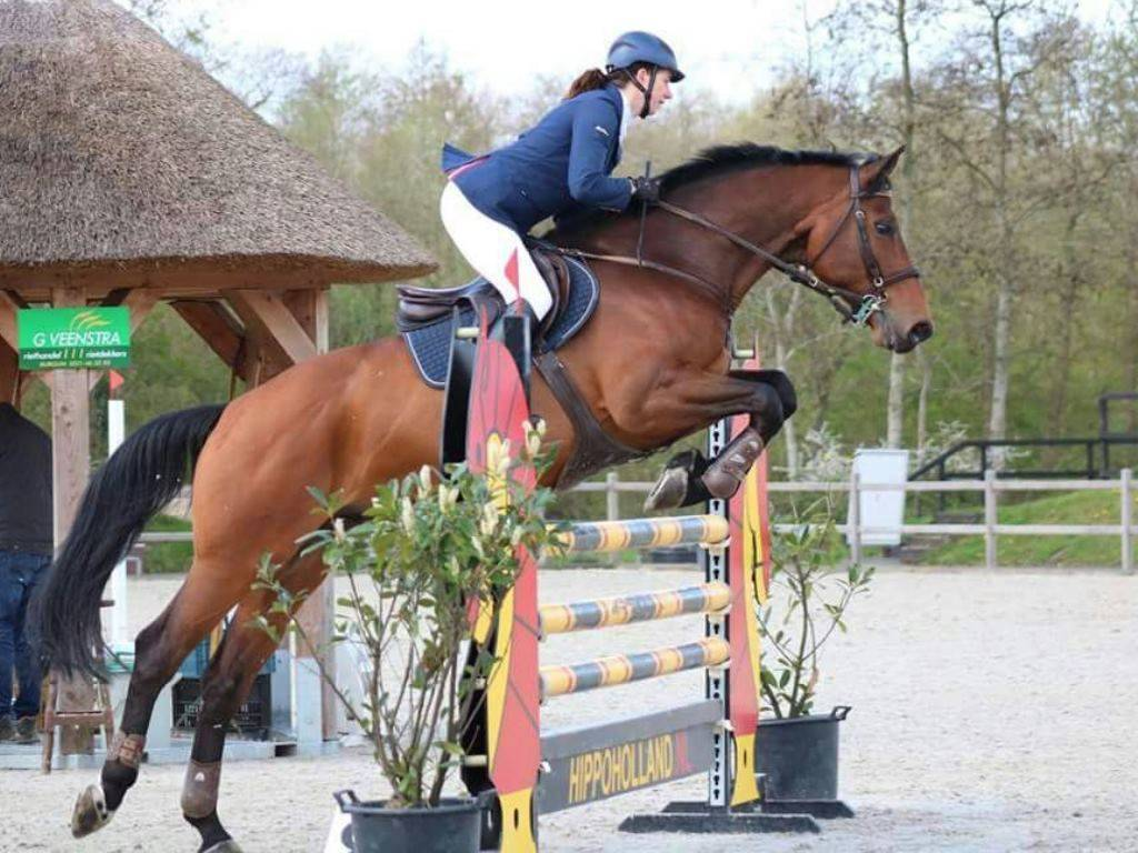 Dutch Show Jumping Warmblood for Sale