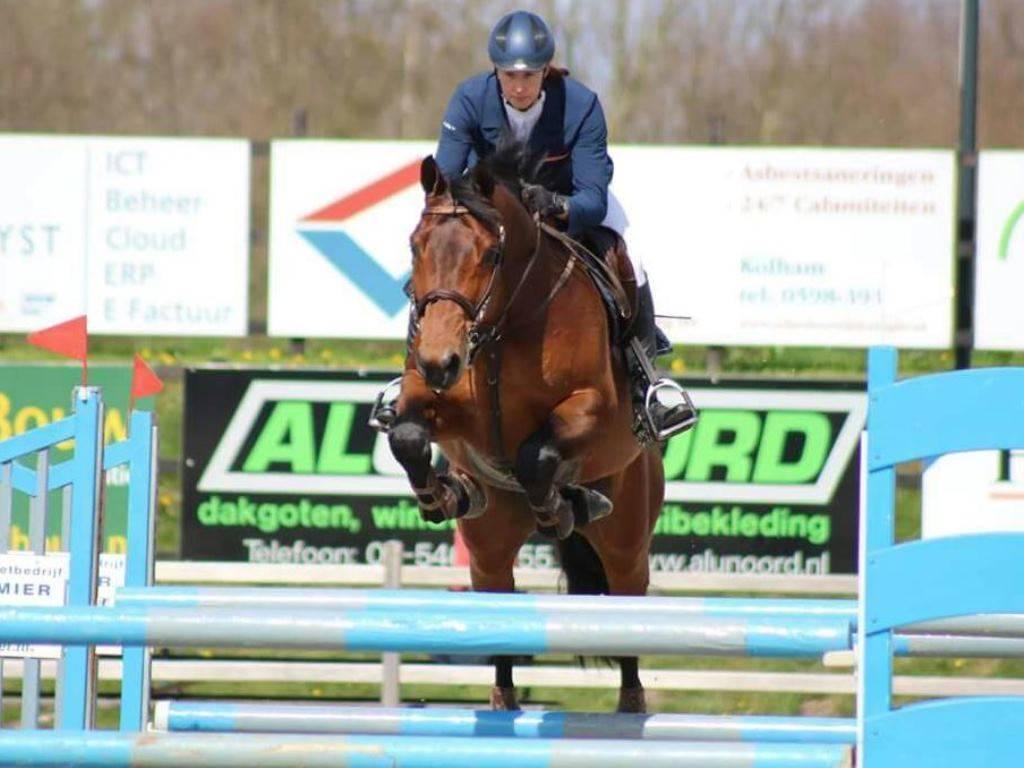 Dutch Jumping Gelding for Sale