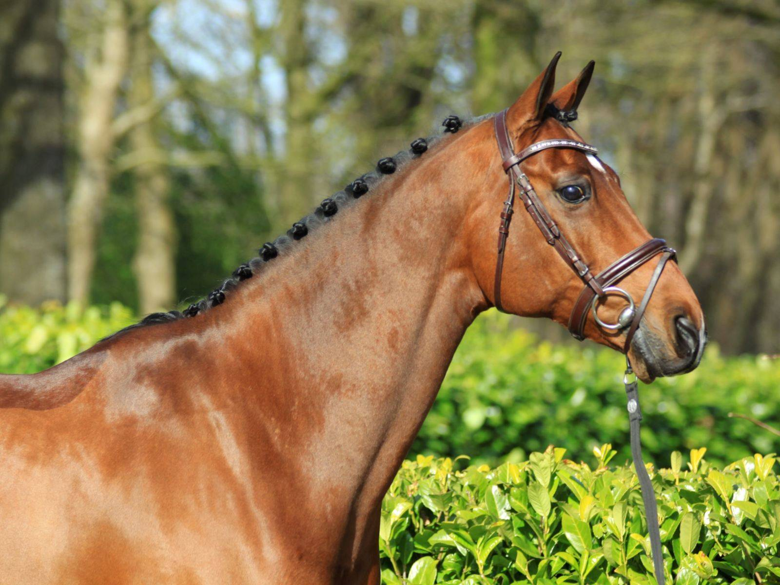 Dutch Jumping Horses for Sale California Arizona