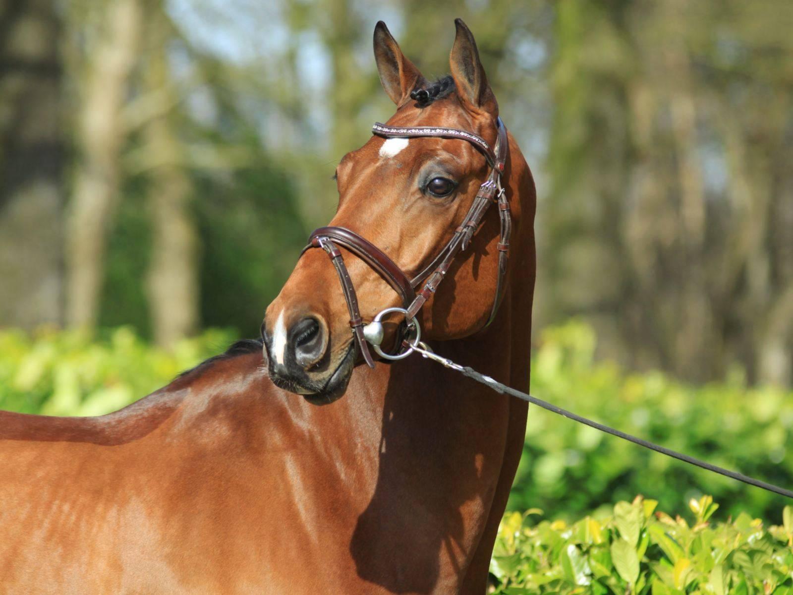 Dutch Horses for Sale California Arizona