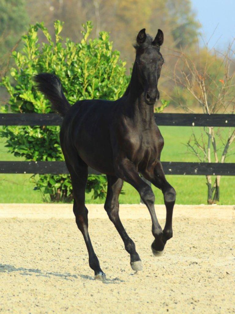 Black Dressage Foal for Sale South Africa